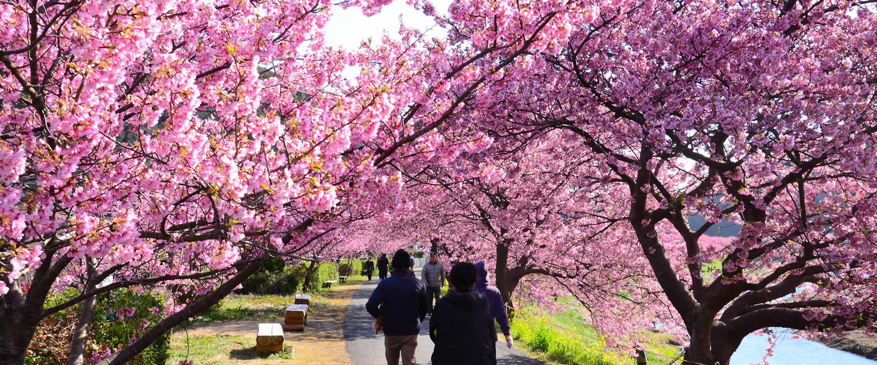 Kawazu Sakura Matsuri