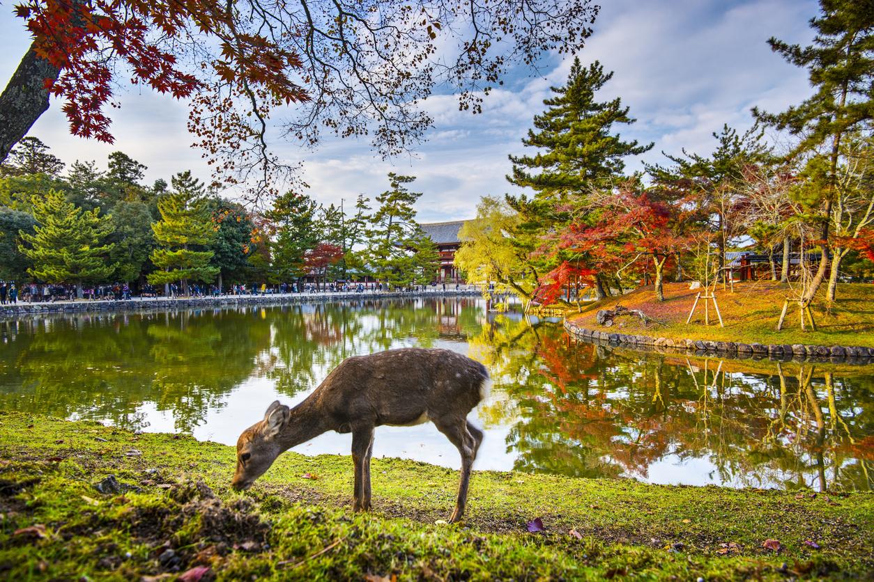 Deer grazes near Todai-ji Temple in Nara, Japan.